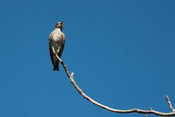 野鳥 エゾビタキ