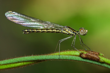 Image of Libellago lineata lineata dragonfly (Rhinocypha fenestrella) on a green branch. Family Chlorocyphidae. Insect. Animal,