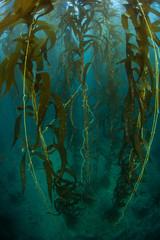 Wall Mural - Giant Kelp Grows Near Channel Islands in California