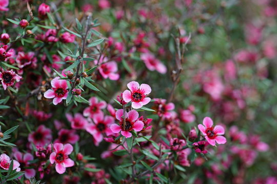 Pink waxflowers (Chamelaucium) growing on a shrub