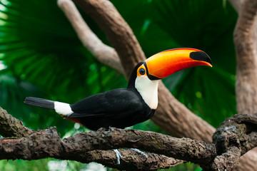 In de dag Toekan Toucan sits on a branch