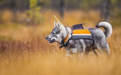 Swedish Moosehound - hunting season