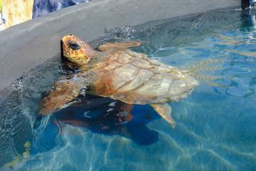 Loggerhead sea turtle in a pool.