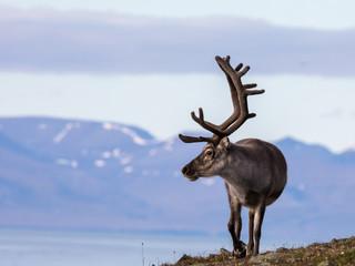 Svalbard male reindeer with big antlers walking in Bjorndalen in summer, Svalbard