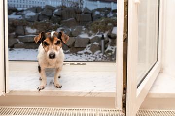 Jack Russell Terrier - Hund sitzt Sitzt im Winter auf der Fensterbank bei offenem Fenster