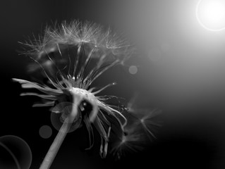 Black and white abstract dandelion background, closeup with soft focus.