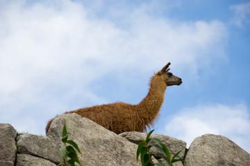 Llama observing