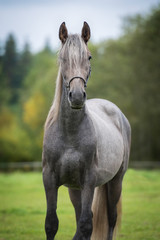 Fototapete - Portrait of young grey andalusian horse