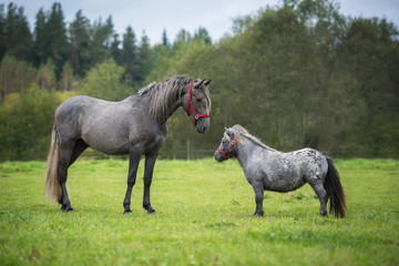 Young andalusian horse with little appaloosa pony
