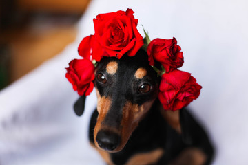 Adorable small black dog with roses on its head
