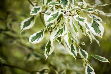 Cornus controversa (variegata) - leaves and details