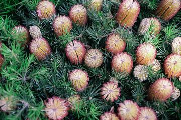 Australia Banksia plant
