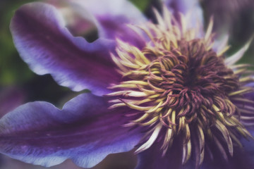 Close up of a flowering purple Clematis...