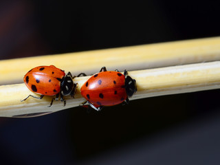 Two ladybugs on sticks