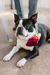 Dapper Boston Terrier wearing a flower