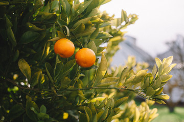 Cumquat Tree with fruit