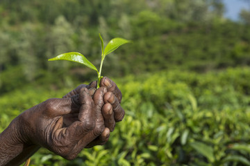 Hands with tea leaves