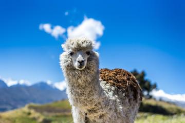 Cute llama in Peru.