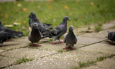 autumn birds - pigeons looking for food on a pavement