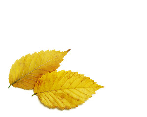 Pair of brilliant yellow gold autumn elm leaves isolated on white background