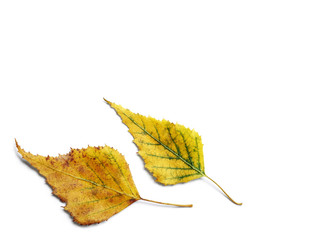 Pair of radiant golden yellow autumn birch leaves isolated on white background