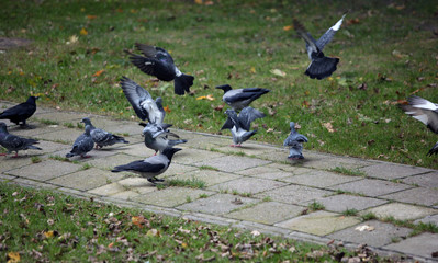 pigeons flying and walking on a pavement and grass