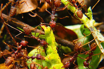 Fire Ants Teamworks Carry Caterpillars To The Nest, Selective Focus