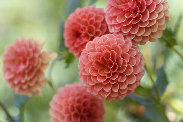 Wall Murals Dahlia Group of Peach Colored Dahlias in Garden