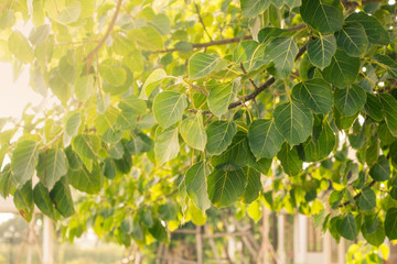 Close up leaft of Bodhi tree with sunlight