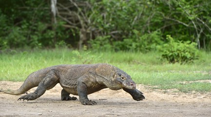 Walking Komodo dragon. Scientific name: Varanus komodoensis.