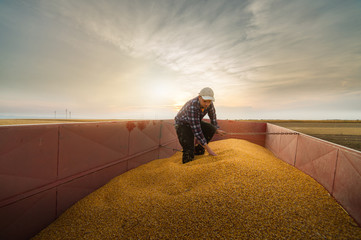 Farmer looking at corn grains in tractor trailer