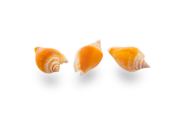 Conch sea shell isolated on white with clipping path