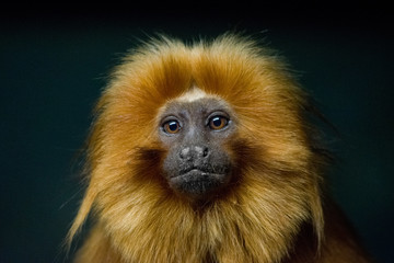 Golden Lion Tamarin Portrait