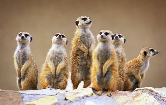 Group of watching surricatas outdoor