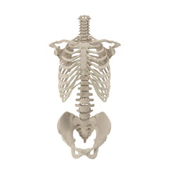 Male Torso Skeleton on white. 3D illustration