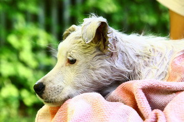 wet white puppy close up photo on human lap with towel on green garden background