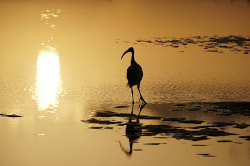sunset. Evening. Bird in a tidal pond on the ocean shore