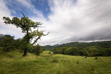 Herdwick sheep grazing in the green countryside with special tree standing in the landscape