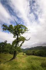 Tree standing in green countryside landscape England