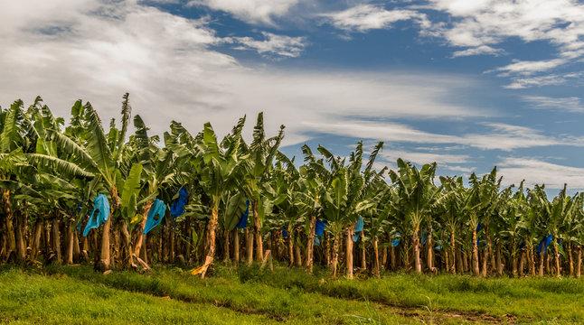 Banana plants plantation