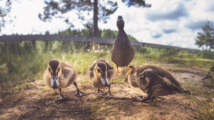 Enten als Familie in der Gruppe mit Mutter und kleinen Küken im Gras bei Sonne im Sommer in Schweden