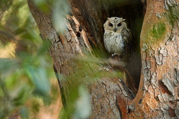 Wild Spotted Owlet, Athene brama, small owl with yellow eyes, staring from tree hole on the beginning of wet season. Spotted Little Owl in its natural environment. Ranthambore,India.