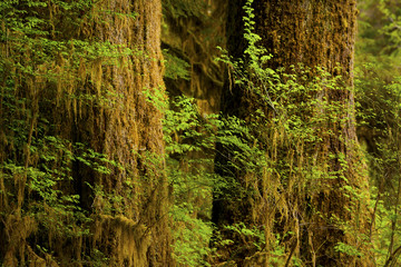 a picture of an Pacific Northwest rainforest of Old growth conifers