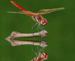 libelula mirandose en el espejo del rio