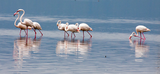 Group of greater flamingos wading through lake