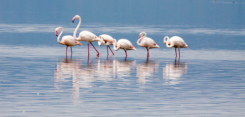 Greater flamingos standing in lake
