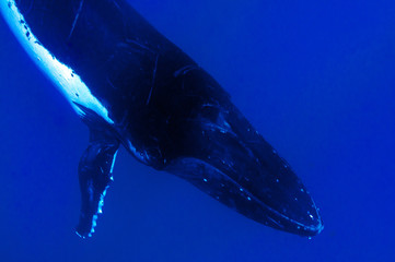 Humpback whales underwater going down in blue polynesian sea