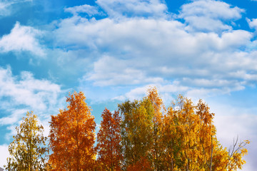 Trees with yellow and orange leaves against the bright blue sky, autumn landscape