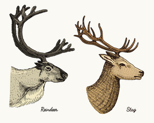 reindeer and stag deer vector hand drawn illustration, engraved wild animals with antlers or horns vintage looking heads side view