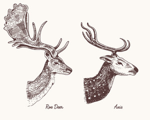 roe deer or doe, axis or indian dotted vector hand drawn illustration, engraved wild animals with antlers or horns vintage looking heads side view